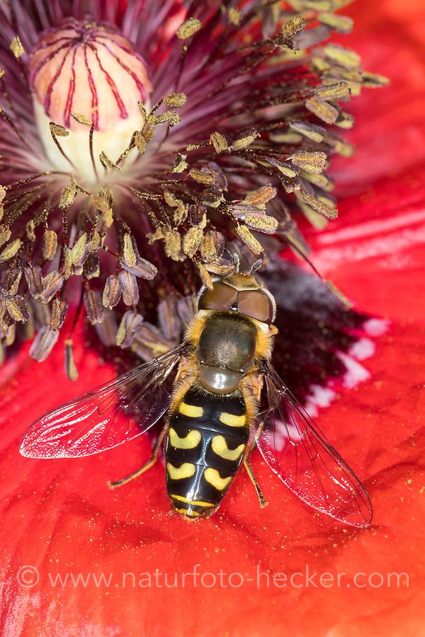 Frühe Großstirnschwebfliege, Frühe Großstirn-Schwebfliege, Männchen, Scaeva selenitica, hoverfly, male, Blütenbesuch auf Mohn