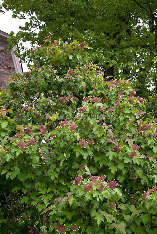 Viburnum sargentii Onondago Sargent Viburnum shrub in May spring bloom against old stone house, Onondaga Sargent Viburnum