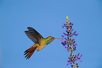 Buff-bellied Hummingbird (Amazilia yucatanenensis), adult in flight feeding on salvia, Sinton, Corpus Christi, Coastal Bend, Texas Coast, USA