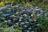 Hydrangea serrata 'Blue Deckle' flowering in autumn garden