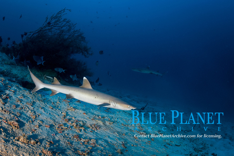 whitetip reef shark, Triaenodon obesus, Maldives, Indian Ocean