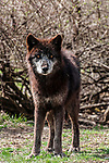 grey wolf chocolate color phase full body view looking at camera, vertical