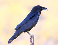 Adult chihuahuan raven