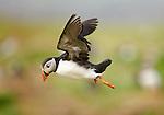 Atlantic Puffin (Fratercula arctica) in flight. Treshnish Isles, Isle of Mull, Scotland.