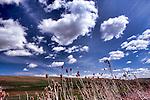 Standing between wheat fields in the Palouse Hills, WA near Steptoe Butte