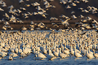 """Flock of """"Greater"""" Snow Geese (Chen caerulescens) roosting in a flooded agricultural field during migration. Montezuma NWR, New York. March."""