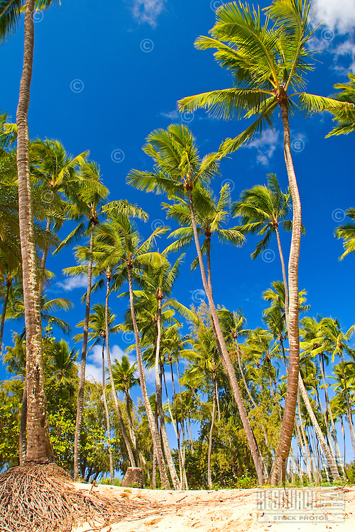 Tall palm trees at the beach with blue sky background