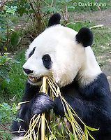 0502-1010  Female Giant Panda Eating Bamboo at San Diego Zoo, Ailuropoda melanoleuca  © David Kuhn/Dwight Kuhn Photography.