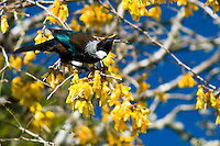 Tui bird on kowhai tree in bloom, Westland National Park, South Westland, West Coast, South Island, New Zealand