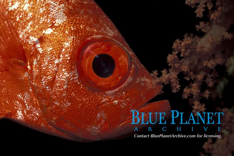 bigeye, Priacanthus sp, Red Sea