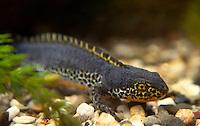 Alpenwatersalamander (Triturus alpestris) zwemmend