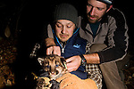 Mountain Lion (Puma concolor) biologists, Max Allen and Paul Houghtaling, placing radio collar on six week old male cub, Santa Cruz Puma Project, Santa Cruz, Monterey Bay, California