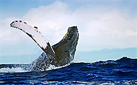 humpback whale, Megaptera novaeangliae, breaching out of large swell, Hawaii, USA, Pacific Ocean