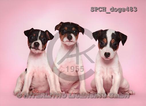 Xavier, ANIMALS, dogs, photos(SPCHdogs483,#A#) Hunde, perros