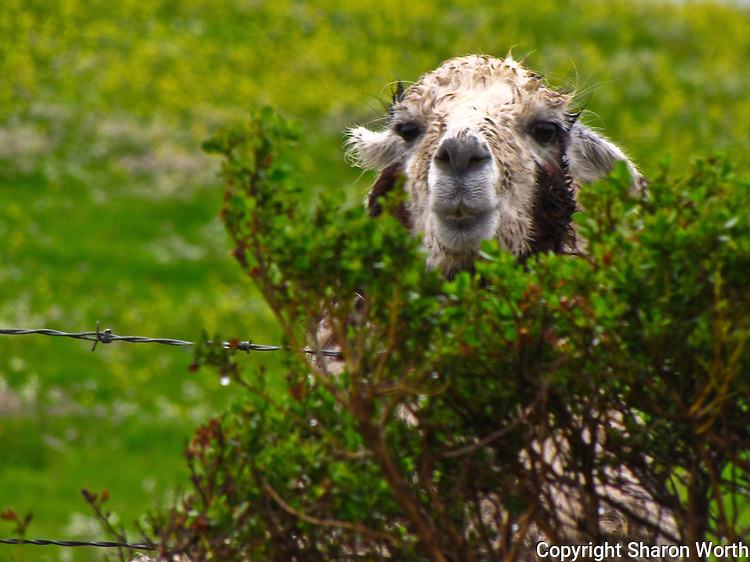 A rain soaked Isaac the llama peers over the fence, intently scrutinizing his visitors.