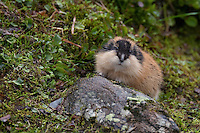 Berglemming, Berg-Lemming, Lemming, Lemmus lemmus, Norway lemming, Norwegian lemming