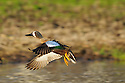 00315-062.19 Blue-winged Teal drake in flight over small marsh typical of species.  Action, color, hunt, waterfowl.
