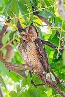 Middle American screech owl, Guatemalan screech owl, Megascops guatemalae, Corcovado National Park, Osa Peninsula, Puntarenas Province, Costa Rica