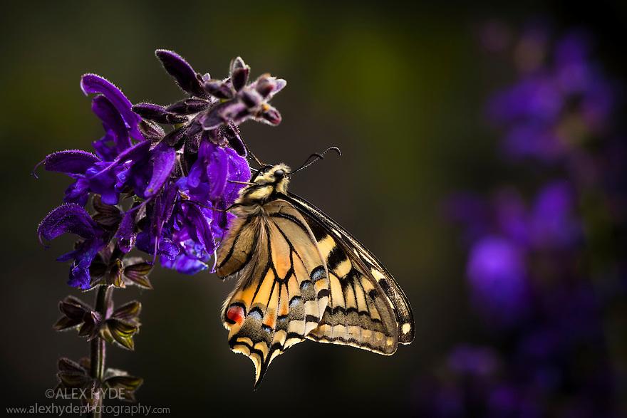 Common Swallowtail butterfly {Papilio machaon} feeding on Meadow Clary {Salvia pratensis} flowers. Nordtirol, Tirol, Austrian Alps, Austria, 1700 metres altitude, July