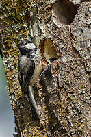 Black-capped Chickadee (Poecile atricapillus) at nest cavity.  Pacific Northwest. June.  Young will fledge within a day.