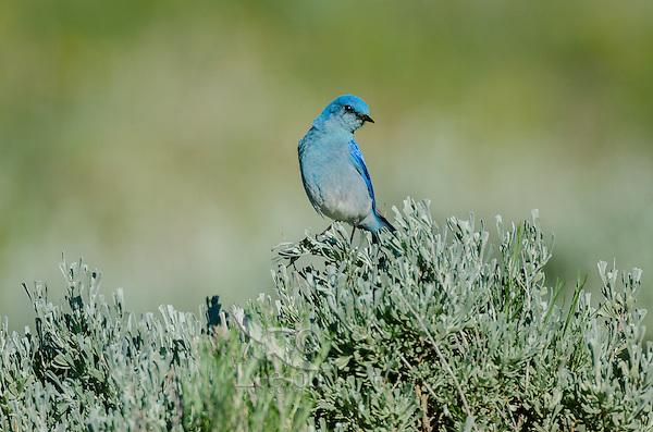 Male Mountain Bluebird (Sialia currucoides).  Western U.S., June.
