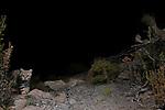 Pampas Cat (Leopardus colocolo) kitten, Abra Granada, Andes, northwestern Argentina
