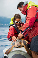 loggerhead sea turtle, Caretta caretta, endangered species, being tagged by scientists, Pico Island, Azores, Portugal, Atlantic Ocean