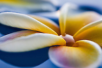 Close up of fragrant plumerias floating on water