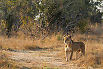 African Lion (Panthera leo) eight year old female in savanna, Kafue National Park, Zambia