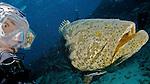 Goliath Grouper and Diver, Key Largo, Florida