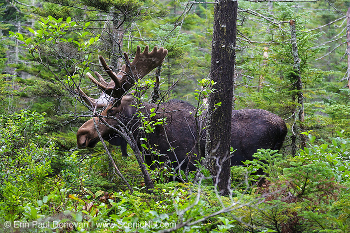 Moose eating twigs on the side of Lonesome Lake Trail in the White Mountains, New Hampshire USA.