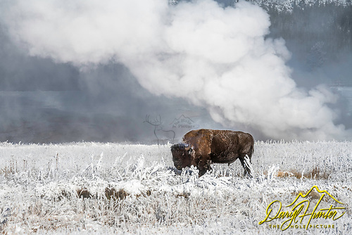 Frosty Bison on a sub-zero day