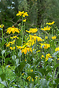"""Rudbeckia laciniata 'Herbstsonne', mid August. A herbaceous perennial to 2m in height, with single flower-heads with golden-yellow rays and greenish-yellow central """"cones""""."""