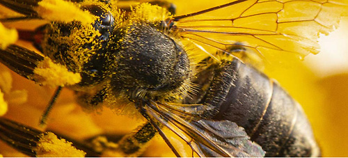 Honeybees in healthy hives tend to be quite resistant to infections