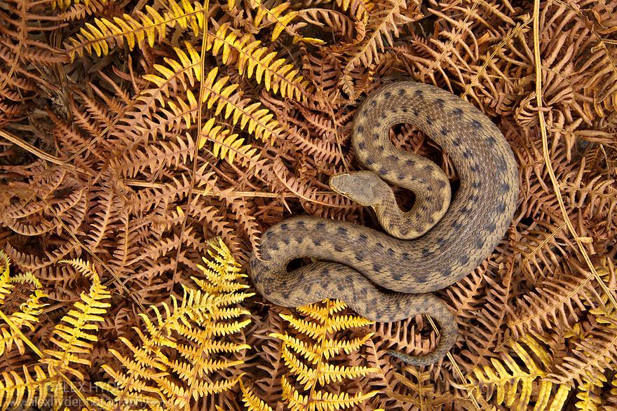 Asp viper female {Vipera aspis} amongst dead bracken, Midi-Pyrenees,  Pyrenees, France. August.