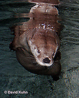 0806-0801  Northern River Otter, Lontra canadensis  © David Kuhn/Dwight Kuhn Photography.