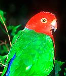 King Parrot, Alisterus scapularis