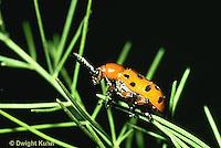 1C12-018z  Asparagus Beetle - Crioceris duodecimpunctata