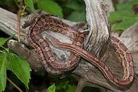 Kornnatter, Korn-Natter, Natter, Pantherophis guttatus, Corn Snake, Red Rat Snake