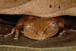 Common tree frog, Peru