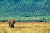 Soliltary Bull African Elephant crossing the Crater floor, late in the day on his return to the Lerai forest for the night. Ngorongoro Crater