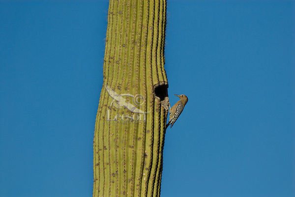 Female Gila Woodpecker (Melanerpes uropygialis) on saguaro cactus.  Arizona