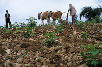 INDIA Madhya Pradesh, Dhar, Adivasi farmer weeds organic cotton field with ox  / INDIEN Dhar, Adivasi Farmer jaetet Unkraut in einem biologischen Baumwollfeld mit Ochsengespann