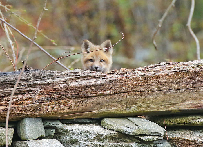 Peeking red fox kit