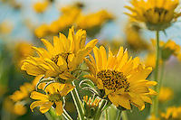 Arrowleaf Balsamroot (Balsamorhiza sagittata) blooming in the Columbia River Gorge, Oregon.  May.<br /> Wildflower