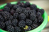 Blackberry Picking-Aug 2012