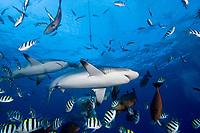 Shark feeding in Yap, Micronesia. Mostly Gray Reef sharks, Carcharhinus amblyrhynchos.