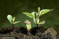 AT11-003a  Apple Tree - seedlings showing first true leaves developing