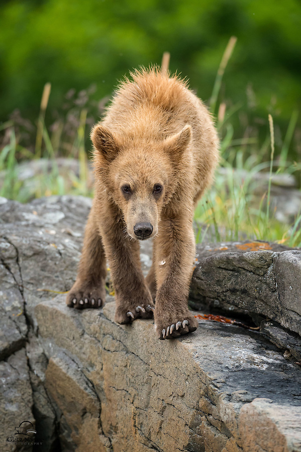 "This young Coastal Brown Bear (Ursus arctos) cub got ""tired"" of nursing on its mother (you can see some milk on its left arm).  While its sibling kept suckling, this cub decided to explore the rocks along the coast, and was intrigued by a group of humans in the skiff just offshore.  Here it seems to be calculating the distance and considering joining us in the skiff.  Kukak Bay, Katmai National Park, Alaska."