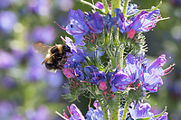 Gartenhummel, Garten-Hummel, Blütenbesuch an Natternkopf, Natternzunge, Echium vulgare, Bombus hortorum, Megabombus hortorum, small garden bumble bee, garden bumblebee, small garden bumblebee, le bourdon des jardins
